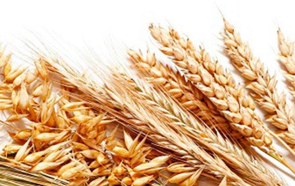 Зерновые культуры (пшеница, ячмень, овес)
