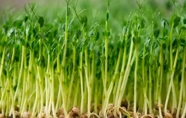 Зернобобовые культуры (соя, горох, люцерна)