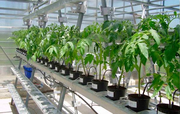 Овощные культуры в малообъемной гидропонике