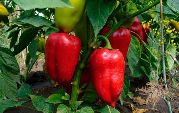 Овощные культуры в защищенном и открытом грунте
